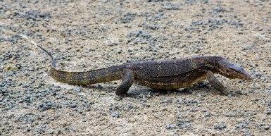 Monitor Lizard, Railay