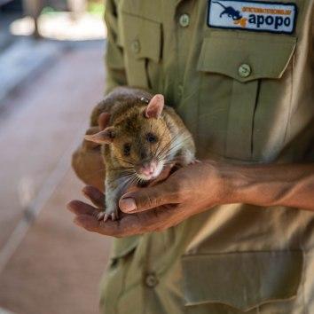 Hero Rat APOPO
